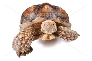 The African spurred tortoise (Centrochelys sulcata)  is a species of tortoise  which inhabits the southern edge of the Sahara desert  in Africa. It is the third-largest species of tortoise in the world and the largest species of mainland tortoise.