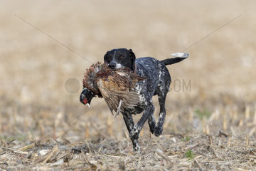 Pointer with a Common Pheasant (Phasianus colchicus)  Bas Rhin  France