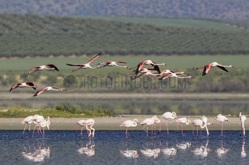 Greater Flamingo (Phoenicopterus roseus). At the Laguna de Fuente de Piedra near the town of Antequera. This is the largest natural lake in Andalusia and Europe's only inland breeding ground for this species. In the backround cultivated olive trees (Olea europaea). Malaga province  Andalusia  Spain.