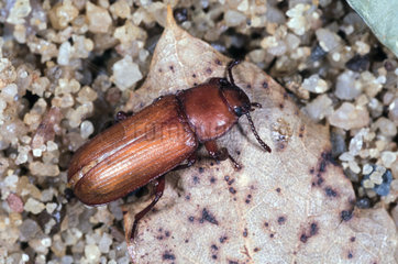 Mealworm beetle  Tenebrio molitor  adult beetle still brown after pupa metamorphosis. Mealworms are considered pests  because their larvae feed on stored grains. They are edible for humans  and are commonly consumed in a practice known as entomophagy. Mealworms have been consumed in many Asian countries  particularly in Southeast Asia. They are commonly found in food markets and sold as street food alongside other edible insects. In 2015  it was discovered that mealworms are capable of degrading polystyrene into usable organic matter. Portugal
