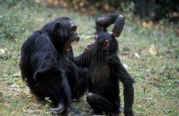 Mère de Chimpanzé commun grondant son fils Gombe Tanzanie