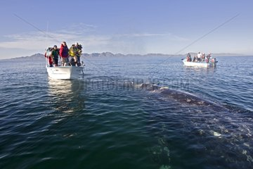 Gray whale approaching people for petting Mexico