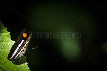Band-celled sister (Adelpha fessonia) on a leaf  Tenorio Volcano National Park  Costa Rica