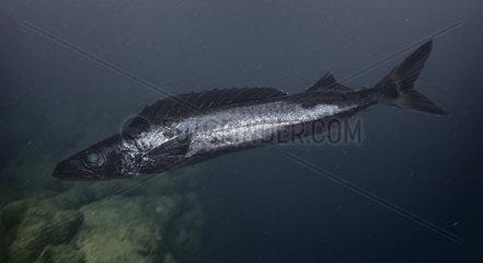 Roudi escolar; Promethichthys prometheus. Composite image. Portugal. Composite image