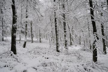Fir-beech forest in snow  Frankenthal-Missheimle Nature Reserve  Vosges  France