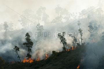 Niaouli (Melaleuca quinquenervia) savanna fire in the municipality of Dumbea. New Caledonia.