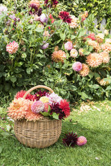 Wicker basket filled with cut dahlia flowers  in a garden in summer  Pas de Calais  France