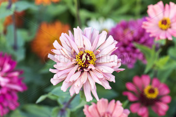 Zinnias in bloom in a garden in summer  Moselle  France