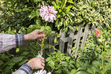 Woman picking Dahlias in a garden in summer  Pas de Calais  France