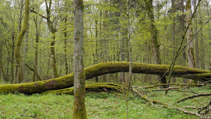 Undergrowth of the Bialowieza National Park Nature Reserve  Poland