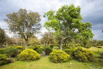 Mediterranean autochthonous vegetation. Alentejo. South Portugal