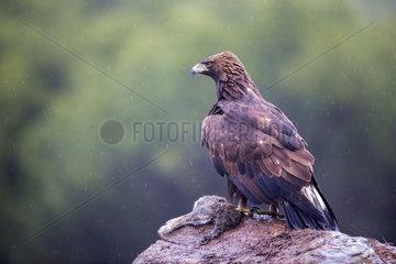 Golden Eagle (Aquila chrysaetos) with prey on rock  Cordoba  Spain