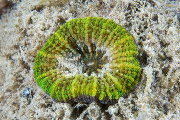 Australis Doughnut Coral (Homophyllia australis)  Kangaroo island  South Australia