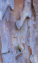 Lytta spanishfly (Lytta vesicatoria) on Stone pine (Pinus pinea)  is also called the Italian stone pine  umbrella pine and parasol pine  Toledo  Castilla - La Mancha  Spain  Europ