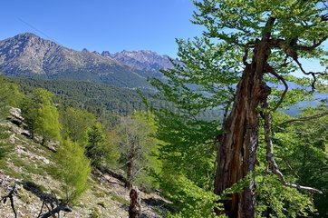 Beech forest and Laricio pines in the direction of Lake Nino: Regional Natural Park of Corsica  France
