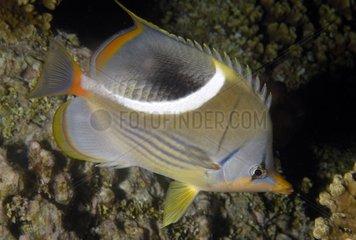 Saddle Butterflyfish Tuamotu French Polynesia