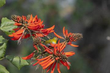 Oriental white-eye (Zosterops palpebrosus) on Coral tree (Erythrina sp) flowers  Gaoligongshan  Yunnan  China
