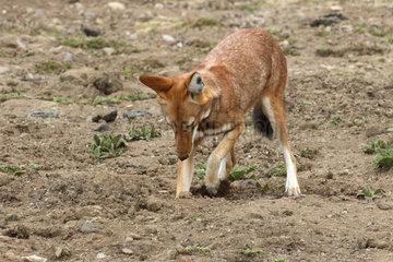 Simian jackal (Canis simensis) hunting a mole rat among Cape Gold  Bale Mountains  Ethiopia