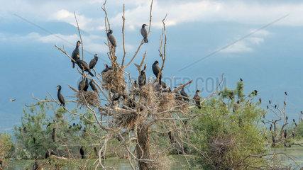 Great Cormorants (Phalacrocorax carbo) on their nest in a dead tree  Lake Kerkini  Central Macedonia  Greece