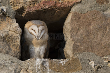 Barn owl (Tyto alba) young visible by daylight  Burgundy  France