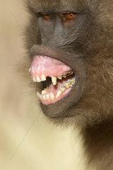 Gelada baboon (Theropithecus gelada) female showing fear  Sankaber  Ethiopia
