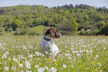 Small muensterlaender sitting in a blooming meadow  Jura  France