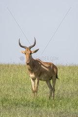 Coke's hartebeest (Alcelaphus buselaphus cokii)  Masai-Mara National Reserve  Kenya