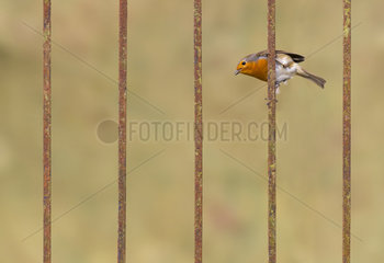 Robin (Erithacus rubecula) perched on a steel rod