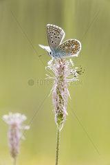 Blue adonis (Lysandra bellargus) and goldenrod crab spider(Misumena vatia)  Bickenberg  Alsace  France
