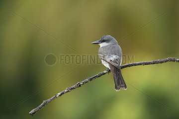 Gray Kingbird (Tyrannus dominicensis) on a branch  Guadeloupe