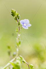 Germander speedwell (Veronica chamaedrys) flower  Forlet peat bog  Soultzeren  Alsace  France