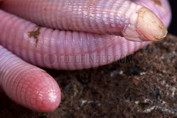 The Wedgesnouted Worm Lizard (Monopeltis decosteri) is a unique  bizar  legless lizard species  rarely seen because found underground in Southern Africa.
