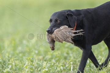 Labrador male with a grey partridge (Perdix perdix)  Bas Rhin  France