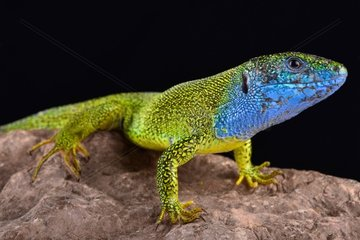 European green lizard (Lacerta viridis) male