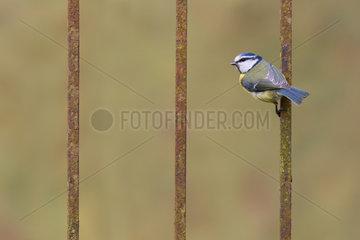 Blue tit (Cyanistes caeruleus) perched on an iron bar