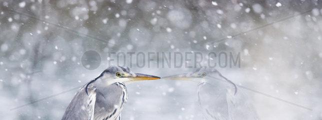 Grey Heron (Ardea cinerea) in snow  Alsace  France