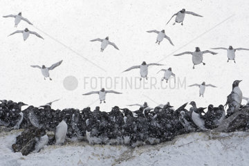 Common Guillemots (Uria aalge) in flight on Hornoya Island  Varanger  Norway