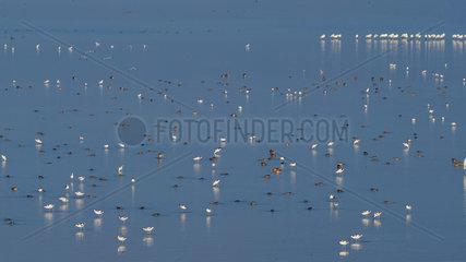Pied Avocet (Recurvirostra avosetta) feeding in the water in autumn  Lake Kerkini  Greece