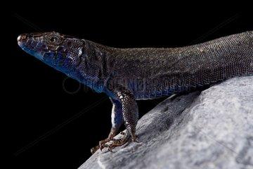 Na Bosc island lizard (Podarcis pityusensis gorrae)