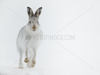 A Mountain Hare (Lepus timidus) runs down the hillside in the Cairngorms National Park  UK With a well travelled route identified  I sat alongside it waiting for an individual to come along. It didn?t take too much time for this initial to come along.