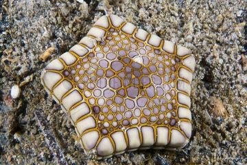 Southern Starfish biscuit (Tosia australis)  Kangaroo island  South Australia