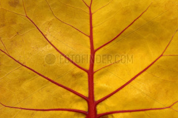 Detail of a leaf of Seagrape (Coccoloba uvifera)  Guadeloupe  French West Indies