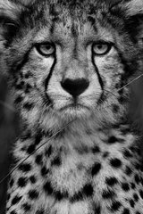 A young male Cheetah (Acinonyx jubatus) stares on in the Maasai Mara  Kenya. Having spent several days with this particular cub and his mother  I was eventually fortunate enough to be granted an overcast day. After over an hour playing with his mother  he eventually settled at the right distance from the vehicle  briefly glancing my way before moving on.
