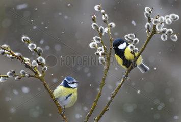 Blue tits (Parus caeruleus) and Great tit (Parus major)  Regional Natural Park of Northern Vosges  France