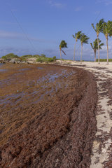 Beaches invaded by Sargassum algae  a strong smell of hydrogen sulphide emerges from decomposing algae  Sainte Anne  Grande-Terre  Guadeloupe  the Lesser Antilles  the Caribbean France