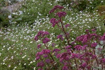 Stonecrop and Latin American fleabane in bloom in a garden