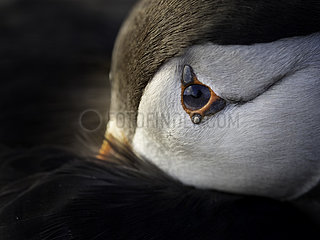 An Atlantic Puffin (Fratercula arctica) rests after a day at sea off the coast of Wales  UK With the sun blocked by a band of cloud  this Puffin was a perfect candidate for capturing images up close and personal as he waddled closer and settled down by the path.