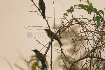 Unicolored Blackbird (Agelasticus cyanopus) female  Pantanal  Brazil