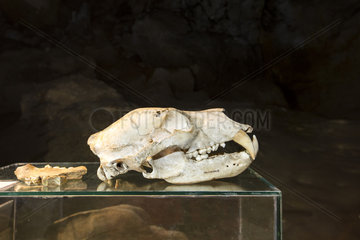 Skull of Brown bear (Usrus arctos) on display in Krizna jama  cave where remains of over 100 Cave bears (Ursus ingressus) have been found  Blo?ka polica  Slovenia