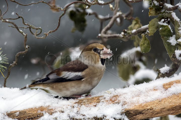 Hawfinch (Coccothraustes coccothraustes) male on a branch of dead wood in winter  Country Garden  Lorraine  France